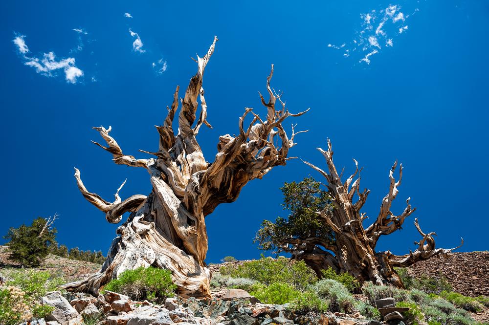 alberi più antichi al mondo