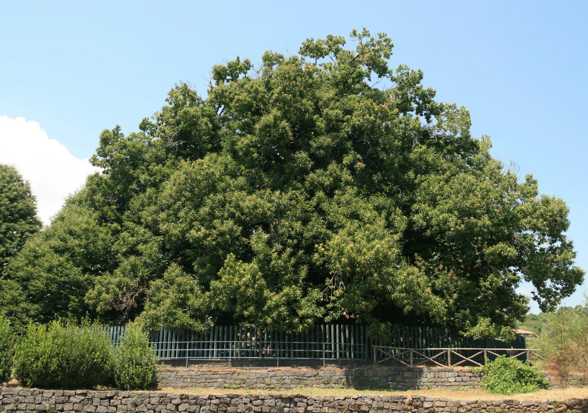 L'albero più antico d'Europa si trova in Sicilia: il Castagno dei cento  cavalli